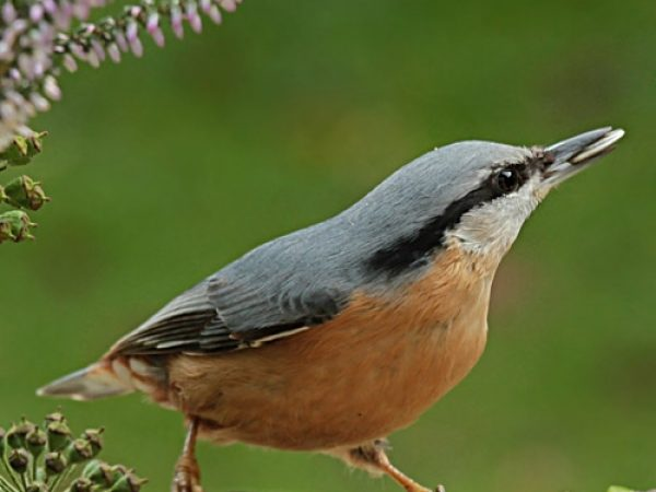 web_wild-bird-red-breasted-nuthatch-limb-sunflower-seed